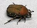 Euphoria herbaceaPCCA20050711-9331A.jpg