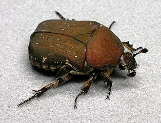Euphoria (beetle) - Euphoria herbacea