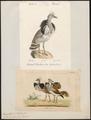 Eupodotis houbara - 1700-1880 - Print - Iconographia Zoologica - Special Collections University of Amsterdam - UBA01 IZ17200073.tif