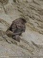Eurasian Crag Martin (Ptyonoprogne rupestris) (32233919295).jpg