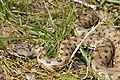 European Asp (Vipera aspis zinnikeri) - Flickr - berniedup.jpg