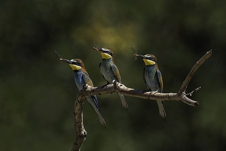 European bee-eaters (Merops apiaster) with dragonflies