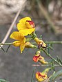 Eutaxia microphylla.jpg