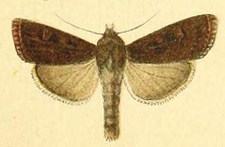<i>Euxoa enixa</i> species of insect