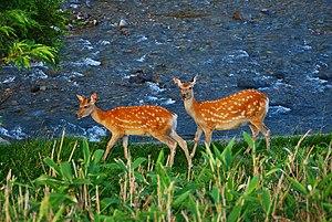 Shiretoko Peninsula - Sika deer