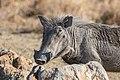 Facocero común (Phacochoerus africanus), Santuario de Rinocerontes Khama, Botsuana, 2018-08-02, DD 27.jpg