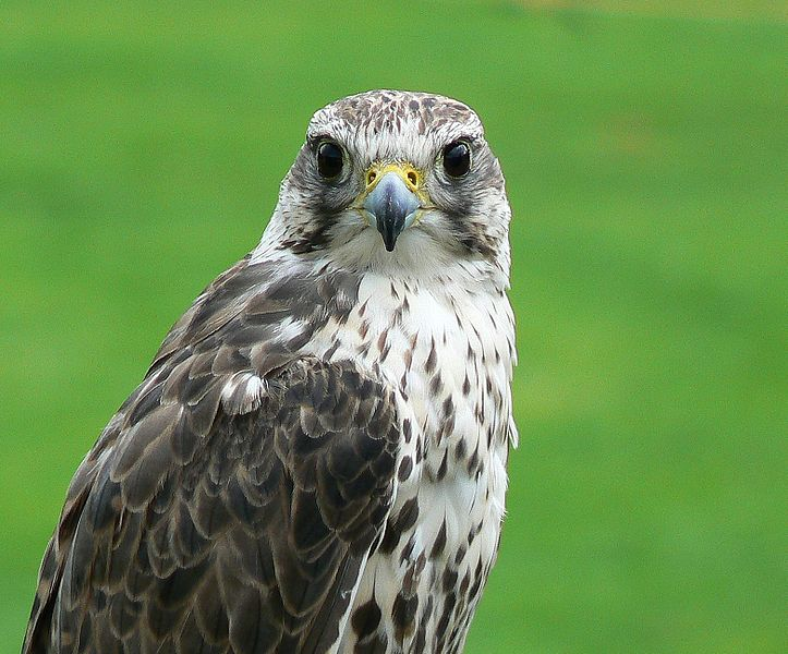 Fájl:Falco cherrug portrait.jpg