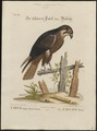 Falco peregrinus - 1700-1880 - Print - Iconographia Zoologica - Special Collections University of Amsterdam - UBA01 IZ18200148.tif