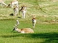 Fallow deer, Powderham Castle - geograph.org.uk - 1416615.jpg