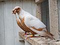 Fancy Pigeons - Danish Suabian - Dansk Svaber -.jpg
