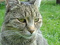 Felis Silvestris Catus face closeup.jpg