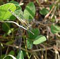 Female. Diplacodes Trivialis . Libellulidae - Flickr - gailhampshire.jpg
