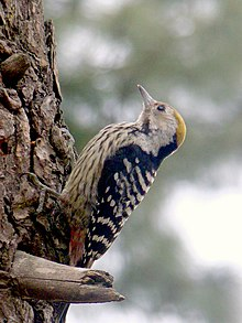 Female Brown-fronted Woodpecker.jpg