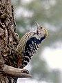 Female Brown-fronted Woodpecker.jpg