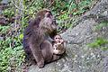 Female Tibetan Macaque.jpg