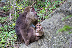 Female Tibetan Macaque.jpg