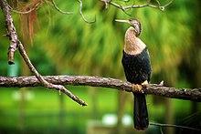 Female anhinga in Florida