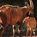 Female bongo with her calf.jpg