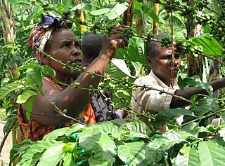 Coffee production in Uganda