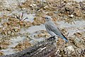 Female mountain bluebird at West Thumb Geyser Basin (20272709531).jpg