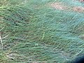 Festuca rubra commutata L. (AM AK298463-1).jpg