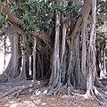 Ficus macrophylla, Giardino Garibaldi, Palermo.jpg