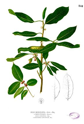 Description de l'image Ficus microcarpa Blanco2.382.jpg.