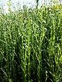 Filago vulgaris sl272.jpg