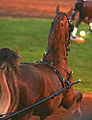 Fine Harness Horse at the 2009 Shelbyville Horse Show (3868247812).jpg