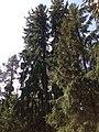 Fir-trees - panoramio (1).jpg