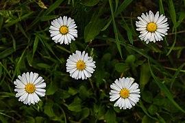 Five daisies (Bellis perennis).jpg