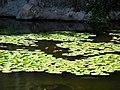 Flat floating on water plant.JPG