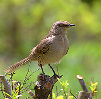 Flickr - Dario Sanches - SABIÁ-DO-CAMPO (Mimus Saturninus) (2)