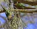 Flickr - Dario Sanches - TIRIBA-DE-TESTA-VERMELHA ( Pyrrhura frontalis) (1).jpg