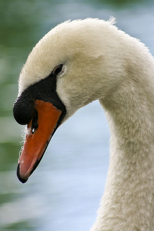 Another bird portrait. The white swan from Aub...