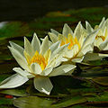 Flickr - coniferconifer - Now is the time to see Water lilies.jpg