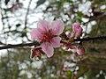 Flor de durazno 2.jpg