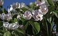 Flores del membrillo en La Guardia (Toledo.jpg
