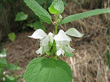 Flower of Lamium album.jpg