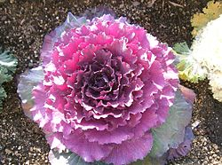 Flowering cabbage.jpg