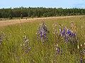 Flowers Gorechavka 2009 - panoramio.jpg