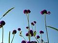Flowers of Iran گلهای ایران 32.jpg