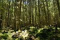 Forest in Yatsugatake 17.jpg