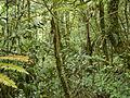 Forest on Gunung Batu Brinchang, Malaysia.jpg