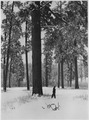 Forester selecting mature pines for cutting. He carefully inspects for overmaturity or tother signs of weakness that... - NARA - 298681.tif