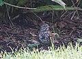Fox Sparrow (15837955466).jpg
