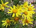Frühlings-Greiskraut (Senecio vernalis) 1.jpg