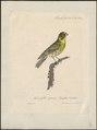 Fringilla citrinella - 1825-1834 - Print - Iconographia Zoologica - Special Collections University of Amsterdam - UBA01 IZ16000045.tif
