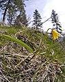 Fritillaria pudica 5.jpg