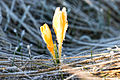 Frost and Crocus in Güzelim 01.jpg